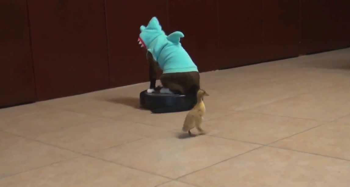 Roomba Cat